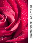 Close Up Beautiful Rose With...