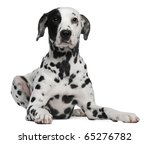 dalmatian  2 years old  lying... | Shutterstock . vector #65276782
