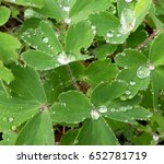 Raindrops On Green Clovers