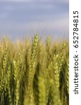 Small photo of agriculture wheat plant