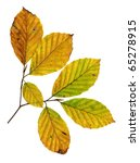 Autumn Leaves Of A Copper Beech ...