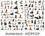 composite picture with purebred ... | Shutterstock . vector #65299129
