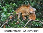 Close Up Of An Iguana In A Tree ...