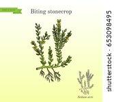 biting stonecrop  sedum acre  ... | Shutterstock .eps vector #653098495