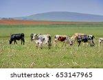 nguni cattle. cow suckling calf ... | Shutterstock . vector #653147965