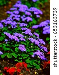 Small photo of Bright purple ageratum flowers in german flower bed. Colorful summer garden. Fluffy violet blossom.