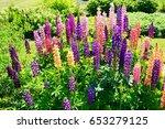 blooming lupine flowers  ... | Shutterstock . vector #653279125