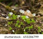 Common Wood Sorrel  Oxalis...