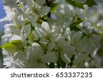blooming tree of a wild apple... | Shutterstock . vector #653337235