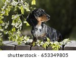 Dog Dachshund In The Garden...