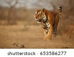 tiger in the nature habitat.... | Shutterstock . vector #653586277