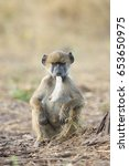 young chacma baboon with a...   Shutterstock . vector #653650975