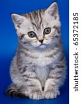 Stock photo british kittens on blue backgrounds 65372185