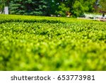 park with green clipped bushes... | Shutterstock . vector #653773981