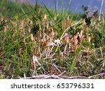 horsetails are growing in...   Shutterstock . vector #653796331