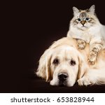 Stock photo cat and dog siberian kitten golden retriever together on dark brown background 653828944