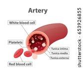 artery illustration vector on... | Shutterstock .eps vector #653926855