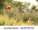 poppy in the grain field. | Shutterstock . vector #653978719