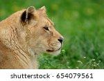 young lion in green grass | Shutterstock . vector #654079561