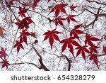 red maple branch. autumn maple... | Shutterstock . vector #654328279