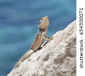 Small photo of Agama lizard (Agama stellio cypriaca). Cyprus reptile