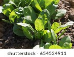 Young Leaves Of Spinach.sprout...