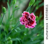 Small photo of Dianthus caryophyllus, carnation is a species of Dianthus. It is probably native to the Mediterranean region but its exact range is unknown due to extensive cultivation for the last 2,000 years.