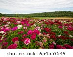 Field Of The Sweet William ...