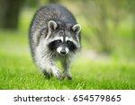 Raccoon Gargle Splashing In Th...
