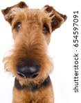 Small photo of Airedale terrier dog head with funny big nose wide angle