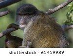 Allen's Swamp Monkey  Female ...