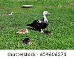A Muscovy Duck With Ducklings...