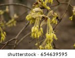 Small photo of Acer opalus
