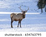 Bull Elk Standing In The Winte...