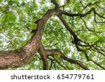 Branches Of Large Trees In...