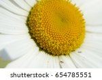 chamomile is on the sunlight.