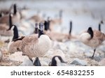 A Group Of Wild Canada Geese O...