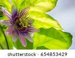 passiflora | Shutterstock . vector #654853429