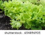 healthy lettuce growing in... | Shutterstock . vector #654896935