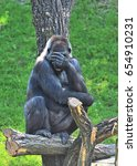Small photo of The gorilla (Gorilla gorilla gorilla) looks like she cannot look at it anymore