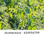 Green Pea Pods On Agricultural...