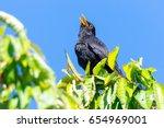 Common Blackbird  Turdus Merul...