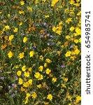 Small photo of Fiddleneck, phacelia, daisies