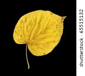 Autumn Leaf Of Large Leaved...