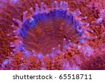 Small photo of This is a closeup of an Acanthastrea polyp showing the sweeper tentacles