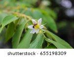 flacourtia rukam flower tree... | Shutterstock . vector #655198309