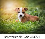 Stock photo american staffordshire cute terrier puppy 655233721