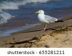 Small photo of American herring gull on the beach at Grand Haven, Michigan