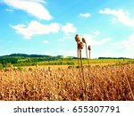 long dry stalk of poppy seed.... | Shutterstock . vector #655307791