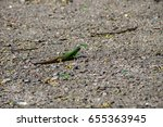 green lizard on grey asphalt... | Shutterstock . vector #655363945